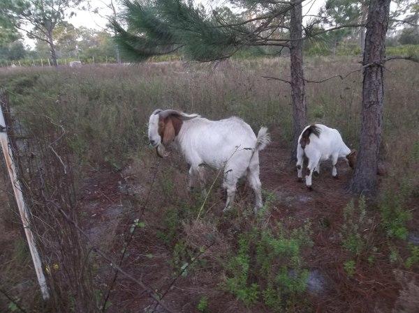 boar_goats